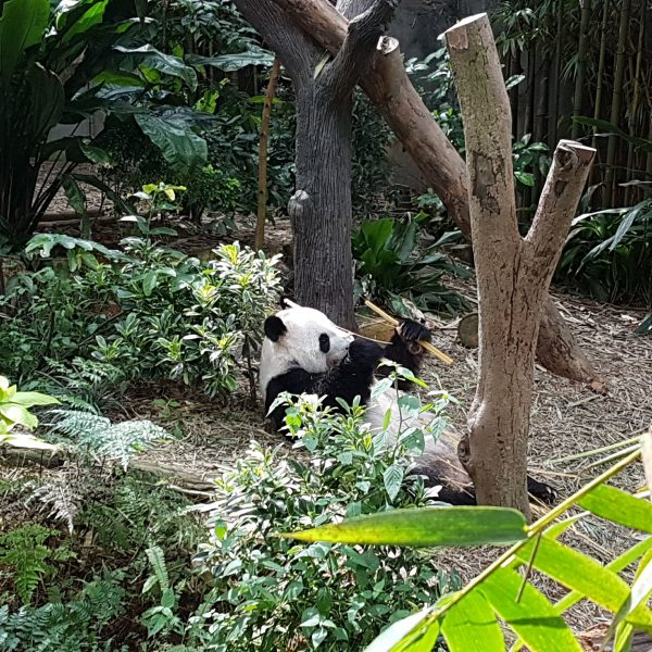 Giant panda eating bamboo at River Safari