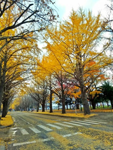 Autumn trees lining up the roads of Hokkaido University