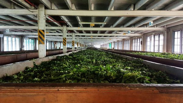Drying of tea leaves at the tea factory at Blue Field Tea Gardens