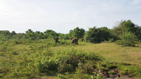 Elephants roaming at Udawalawe National Park