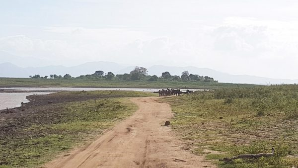 Herd of water buffaloes heading towards the jeep at the Udawalawe National Park